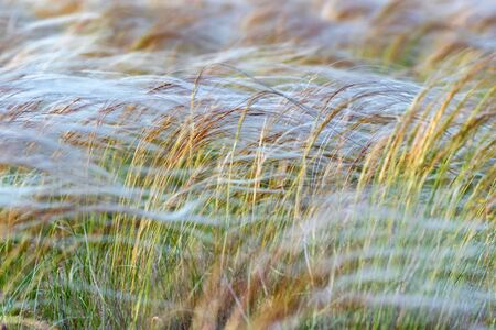 Silver feather grass swaying in wind in steppe