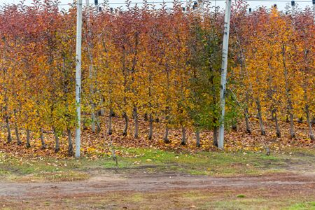 Apple orchard in late autumn with bright yellow trees Фото со стока - 136168752