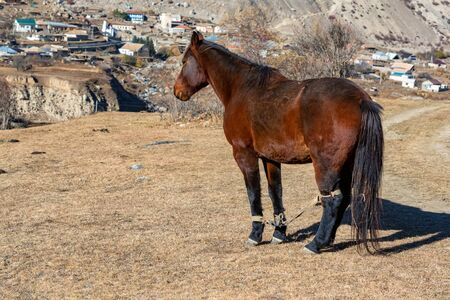 View of brown hobbled horse standing outside