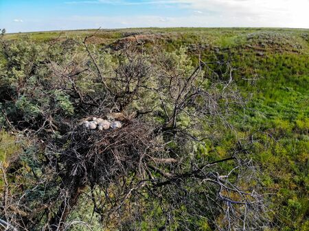 Nest of Long-legged Buzzard or Buteo rufinus on tree with nestlings