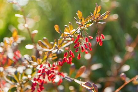 Close up beautiful branch of Barberry or Berberis vulgaris with berries Фото со стока - 136268752