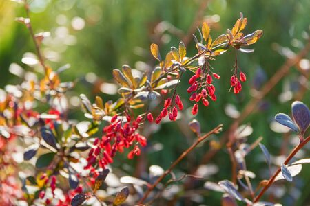 Close up beautiful branch of Barberry or Berberis vulgaris with berries Фото со стока - 136268755