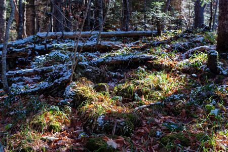 View of tree stems in pine forest in late autumn with first snow on ground Фото со стока - 136269256