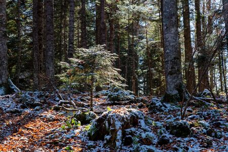 View of tree stems in pine forest in late autumn with first snow on ground Фото со стока - 136269255