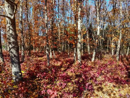 Fantasy landscape of bright red and golden forest with smoke bush in fall Фото со стока - 136269927