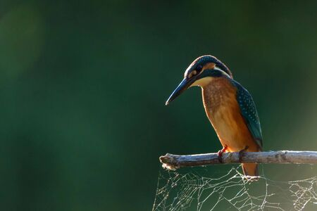 Close-up portrait of beautiful kingfisher or Alcedo atthis is sitting on a branch