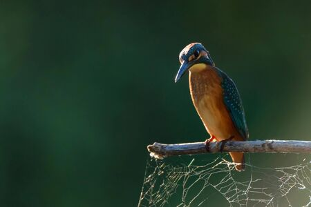 Close-up portrait of beautiful kingfisher or Alcedo atthis is sitting on a branch Фото со стока - 136271213
