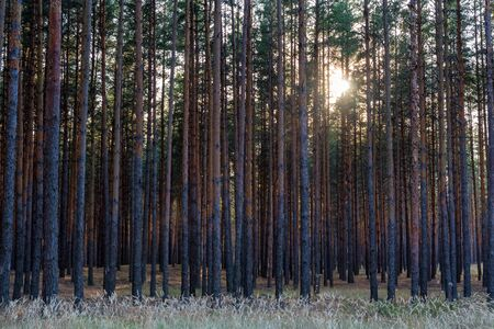 Pine forest with sun shining through trees Фото со стока - 136272403