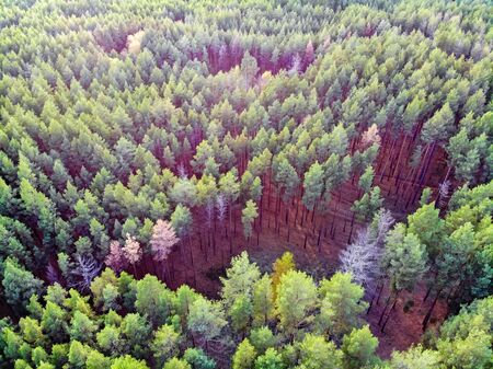 View of green trees in pine forest in late autumn taken by drone Фото со стока - 136271148
