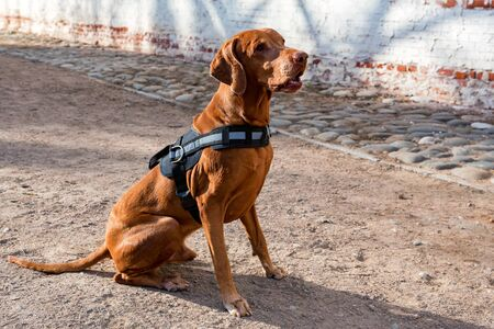 Hungarian Vizsla male dog sits on the ground