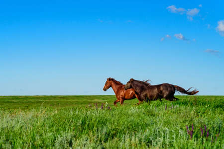 Wild horses galloping in the sunlit meadow Reklamní fotografie