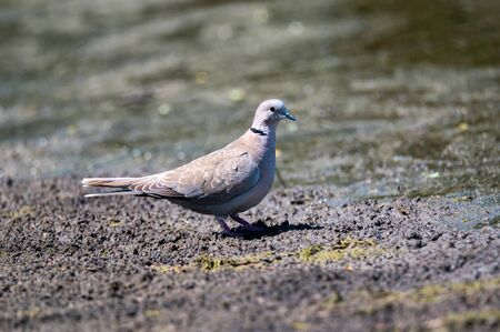 Collared dove or Streptopelia decaocto on ground
