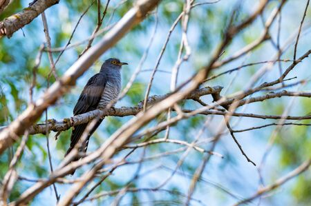 Common Cuckoo or Cuculus canorus perches on branch