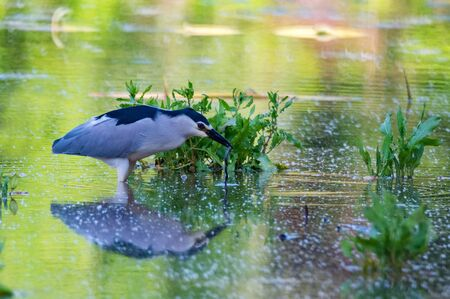 Black-crowned Night Heron or Nycticorax wading in water