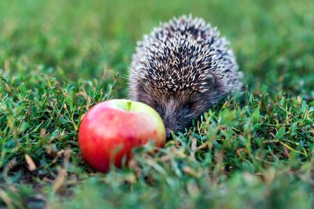 Prickly hedgehog on a green grass near the apple Stok Fotoğraf