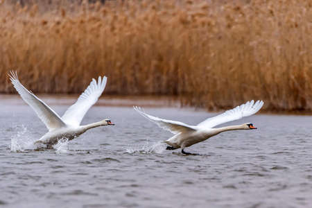Mute swan or Cygnus olor taking off water Stok Fotoğraf