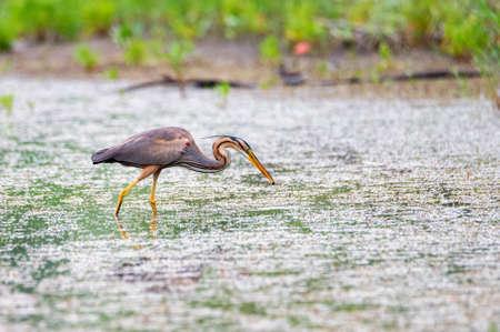 Grey heron or ardea purpurea wading in the water