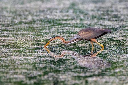 Grey heron or ardea purpurea hunting in the water