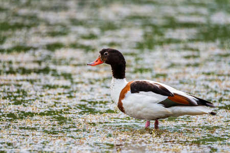 Female of common shelduck or Tadorna in a pond