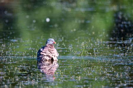 Wood Pigeon or Columba palumbus bathing in water on natural background