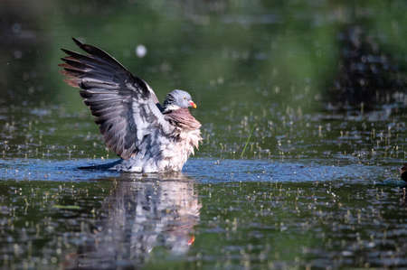 Wood Pigeon or Columba palumbus taking off from water Reklamní fotografie