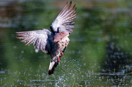 Wood Pigeon or Columba palumbus taking off from water Stok Fotoğraf