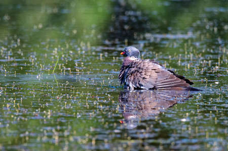 Wood Pigeon or Columba palumbus bathing in water on natural background