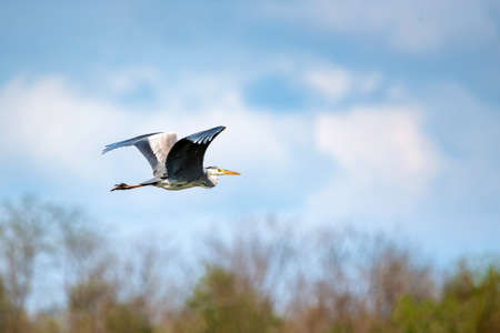 Grey heron or ardea cinerea flying in blue sky background Reklamní fotografie