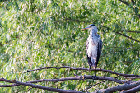 Grey heron or ardea cinerea perches on a tree