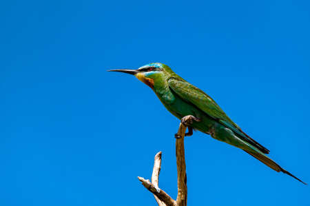 Blue-cheeked bee-eater or Merops persicus sits on the branch