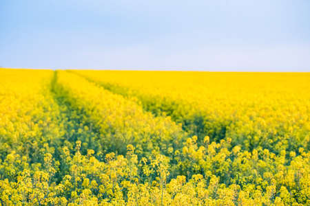 Field of bright yellow rapeseed in spring