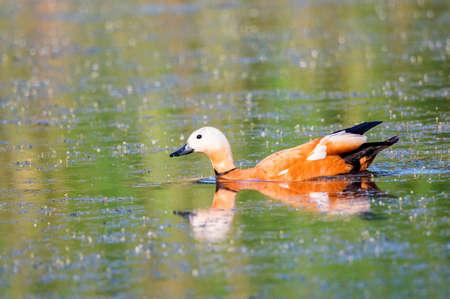 Ruudy shelduck or Tadorna ferruginea swimming in a lake 免版税图像