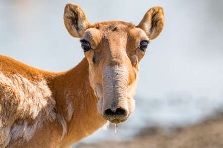 Saiga antelope or Saiga tatarica drinks in steppe