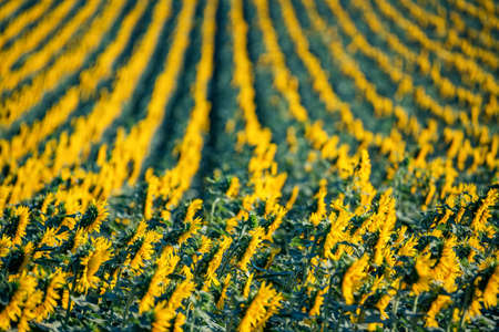 Side view of rows of sunflowers blooming in field