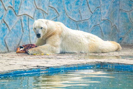 Polar bear or Ursus maritimus in captivity eats meat next to pool Reklamní fotografie