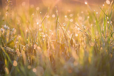 Beautiful background with morning dew on grass close Reklamní fotografie