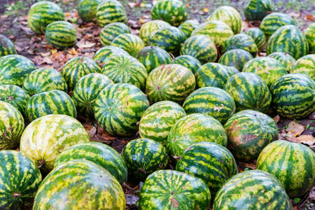 Namy ripe watermelons lie on the ground