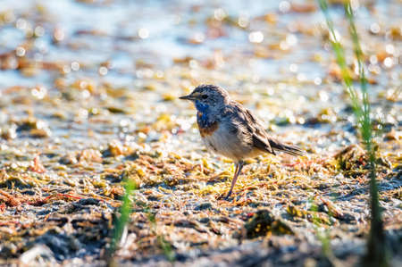 Bluethroat or Luscinia svecica stands on the swamp