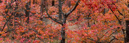 Panoramik picture of autumn forest with red and orange leaves of smoke tree Stockfoto