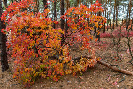 Bright autumn forest with red and orange leaves of smoke tree