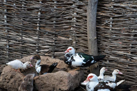 Ducks and gooses in cossacks poultry yard on Don, Russia