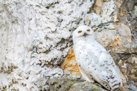 Close up of Snowy owl or Bubo scandiacus in captivity 免版税图像 - 157891719
