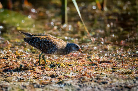 Close up of a spotted crake or Porzana porzana in a wildlife