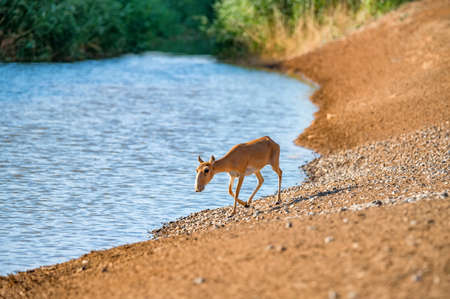 Saiga at a watering place drinks water during strong heat and drought.