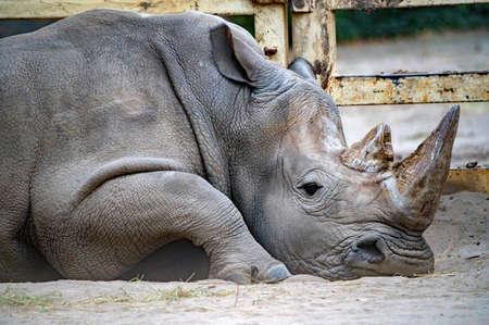 White rhinoceros or Ceratotherium simum lying in captivity