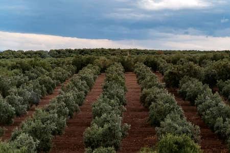 Beautiful landscape photo of olives garden in Turkey