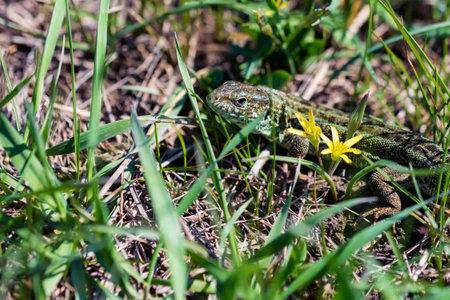 Portrait of happy quick lizard in grass