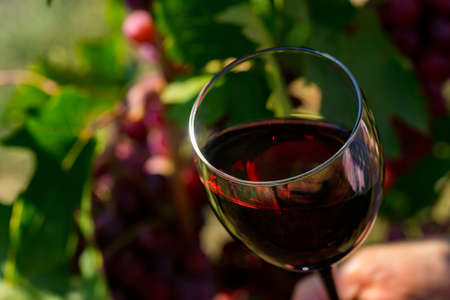 Close up of glass with red wine next to grapes in vineyard Фото со стока
