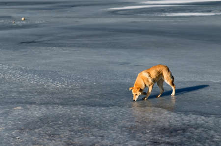 Lonely red dog on frozen ice river at winter Фото со стока