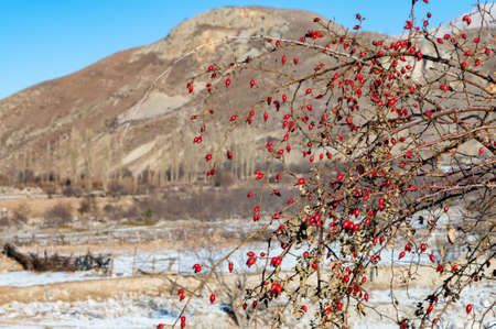 Lot of dog rose fruits in winter against the mountains
